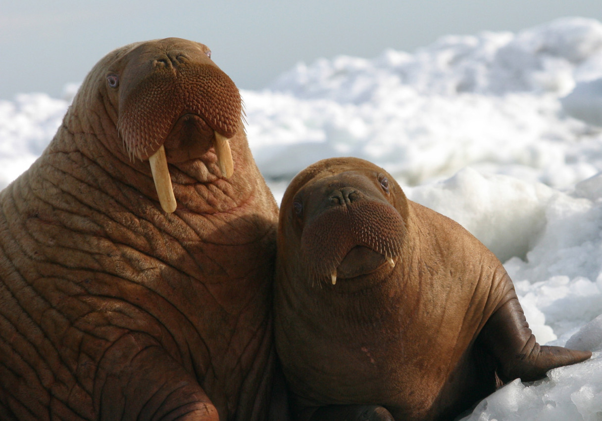 Walrus and calf. Photo courtesy of NOAA.