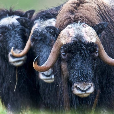 """Three Wet Muskox."" Photo: Bering Land Bridge National Preserve, taken July 16, 2012."