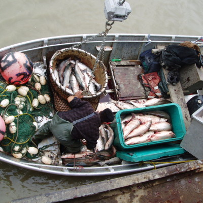 A fisherman stands inside a metal boat, filled with fish caught in autumn, bound for a buyer in Emmonak, Alaska.