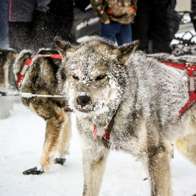 Snowy sled dog, Ambler