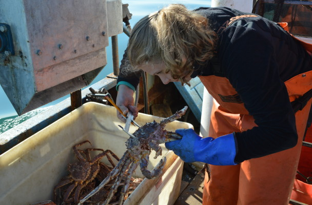 ADF&G observer Anneliese Moll measures the carapace of an eastern Norton Sound red king crab. Photo: Jenn Ruckel, KNOM.