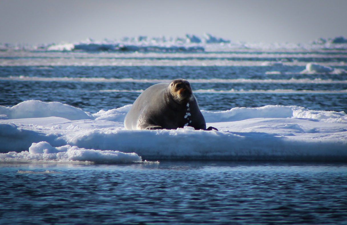 A bearded seal, or ugruk, on the sea ice. Photo Credit: Kawerak Subsistence Program, used with permission.