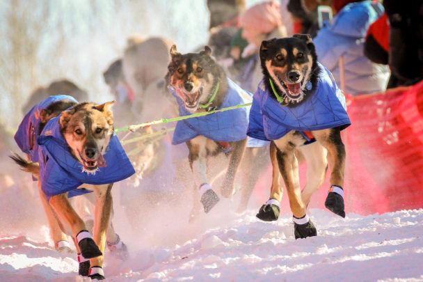 Sled dogs at the Iditarod race start in Fairbanks.