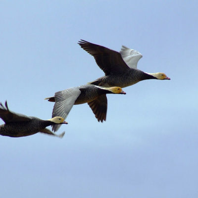 Three white and brown emperor geese fly in a pale sky.