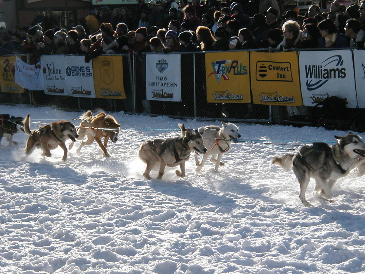 A group of sled dogs dashes over the snow in front of a crowd behind white and yellow barriers.