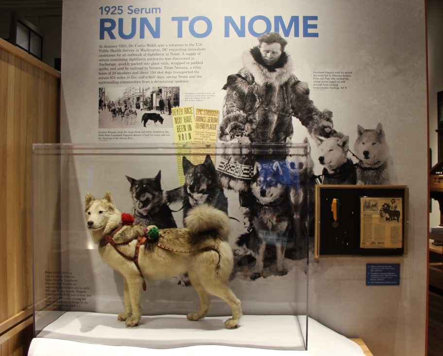Leonhard Seppala's lead sled dog, Fritz, is displayed at the Carrie M. McLain Memorial Museum along with artifacts, newspaper clippings, and photographs on the 1925 Serum Run and the importance of sled dogs to Alaskan communities.