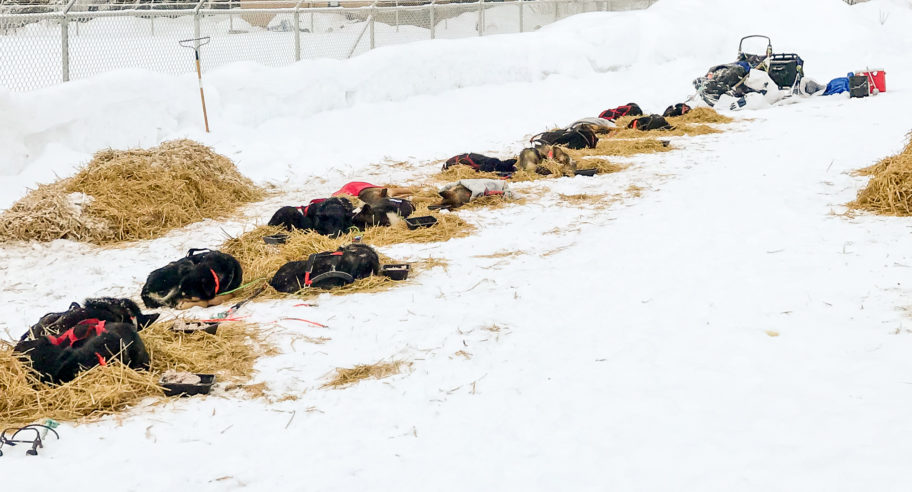 Sled dogs resting in the McGrath checkpoint