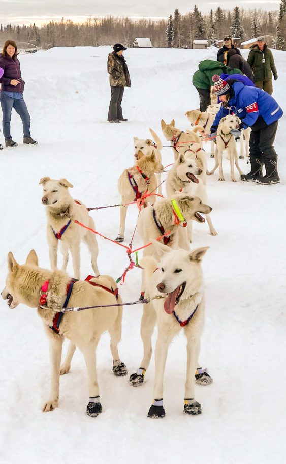 Sled dog team standing at the check-in line in McGrath.