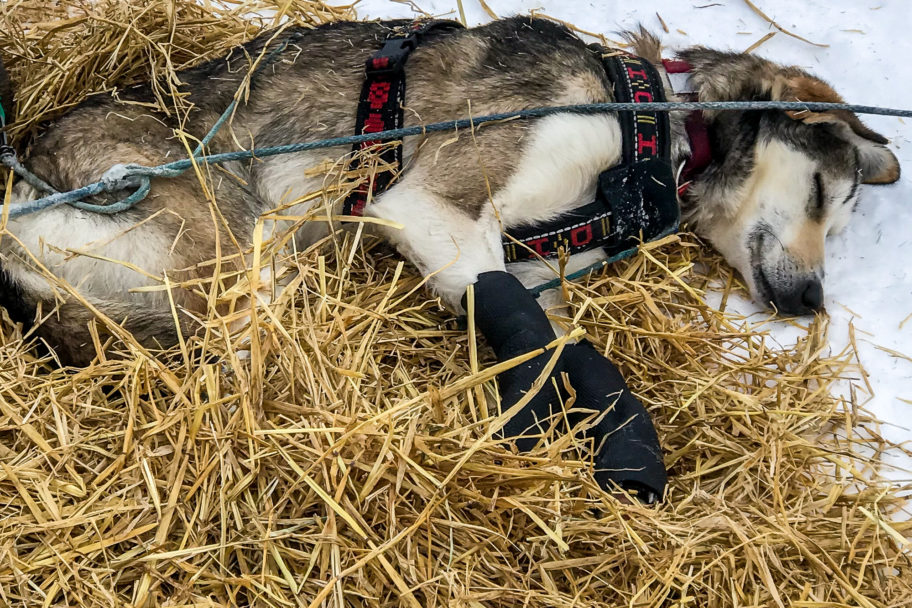 A sled dog sleeps on a bed made of straw