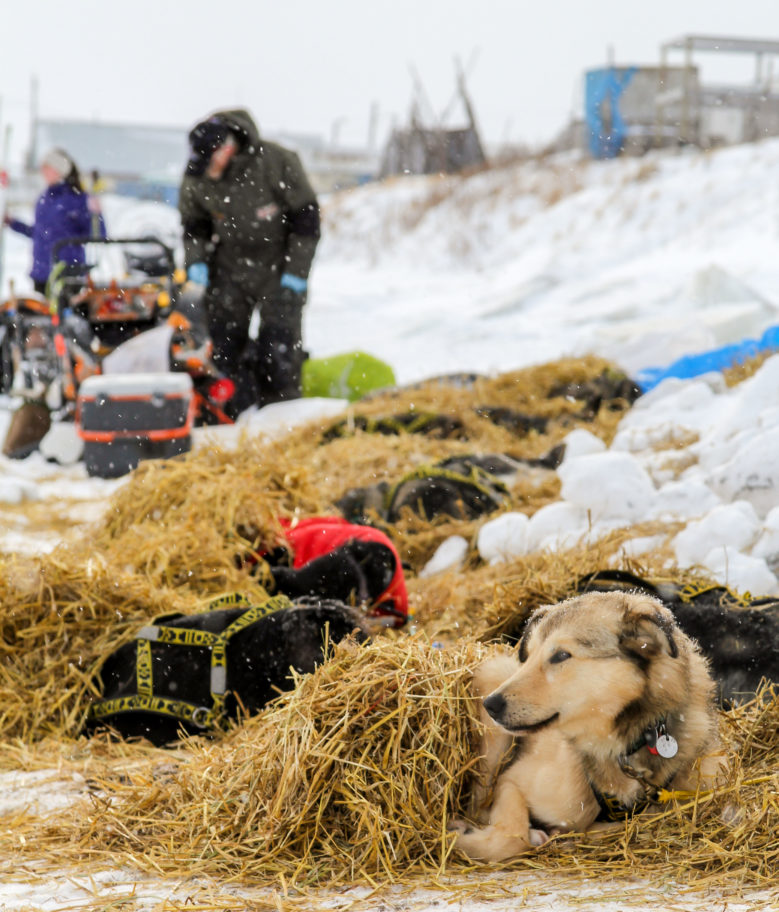Sled dogs rest on straw while snow falls in Unalakleet