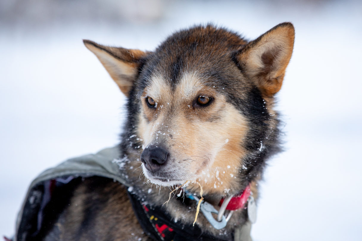 Close-up portrait of sled dog at rest, with bits of snow and frost on its snout.
