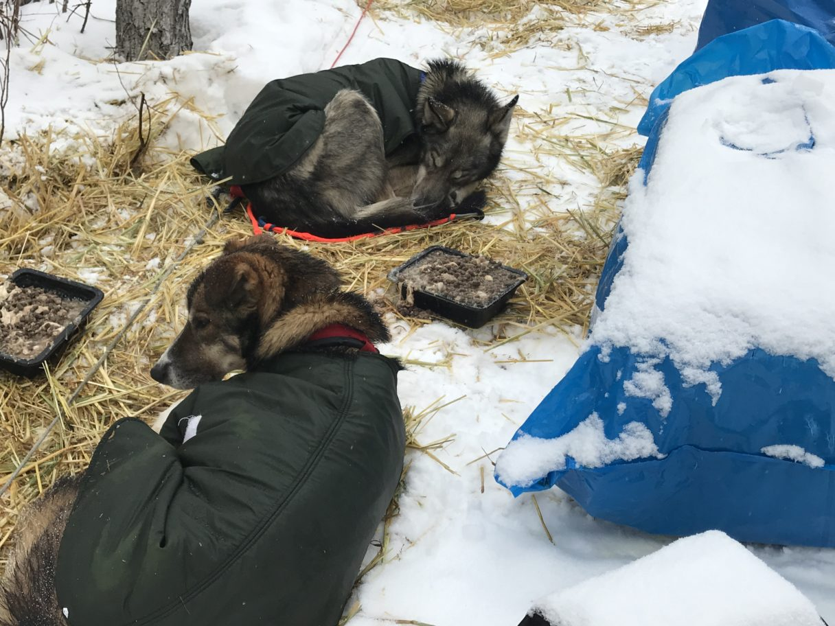 Sled dogs sleeping on straw outside on the snowy ground