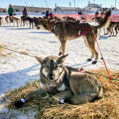 Sled dog rests in straw on snow-covered ground