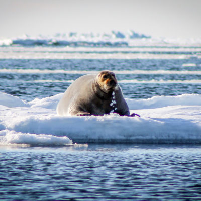 Bearded seal on ice floe