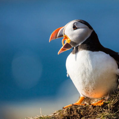 A close-up of a puffin
